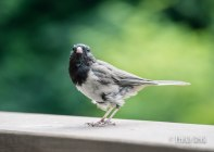 Just a Junco