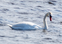 White Swan on Long Pond