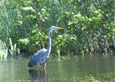 Great blue heron at Braddock Bay State Park