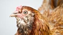 Ms. Chicken
