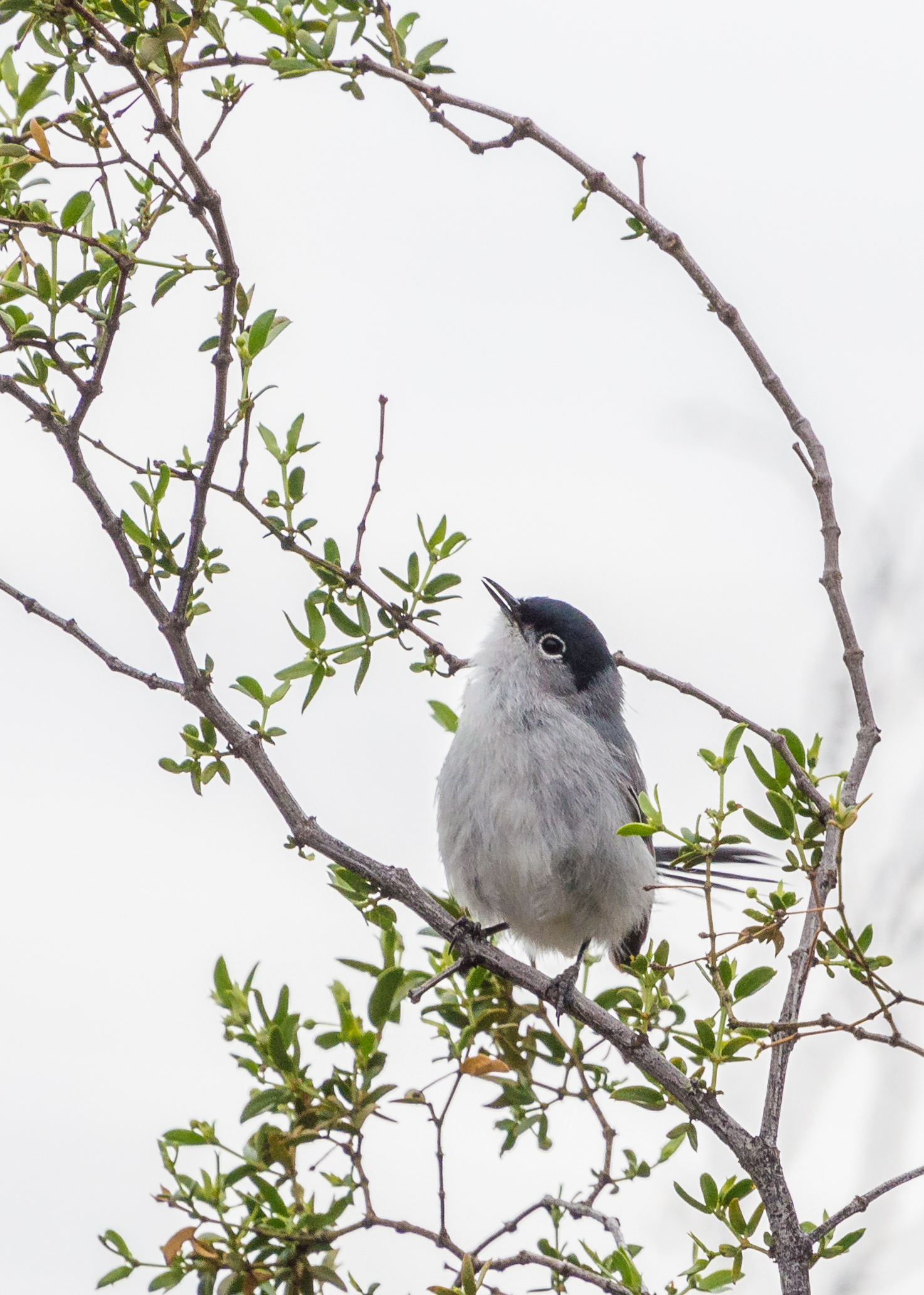 Black-Tailed Gnatcatcher-2
