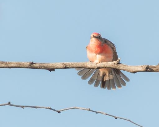 Juvenile Male Vermilion Flycatcher-4