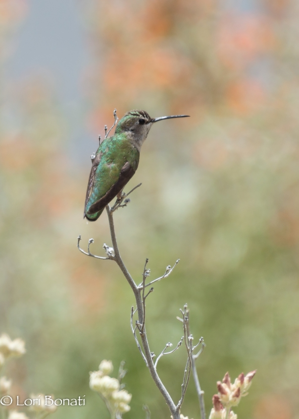 Black-chinned hummingbird watermarked